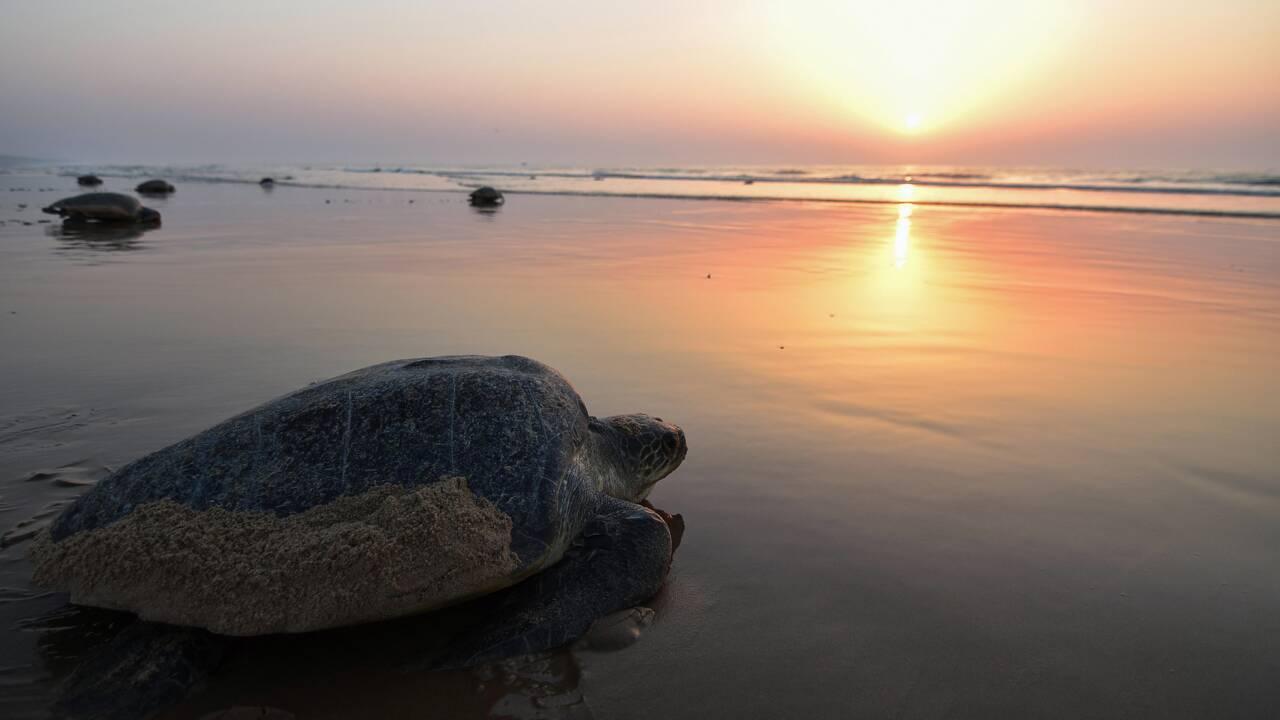 Comment la population se mobilise en Inde pour sauver ses tortues marines