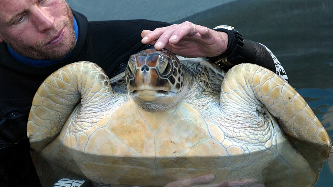 Australie : pourquoi de plus en plus de tortues sont des femelles