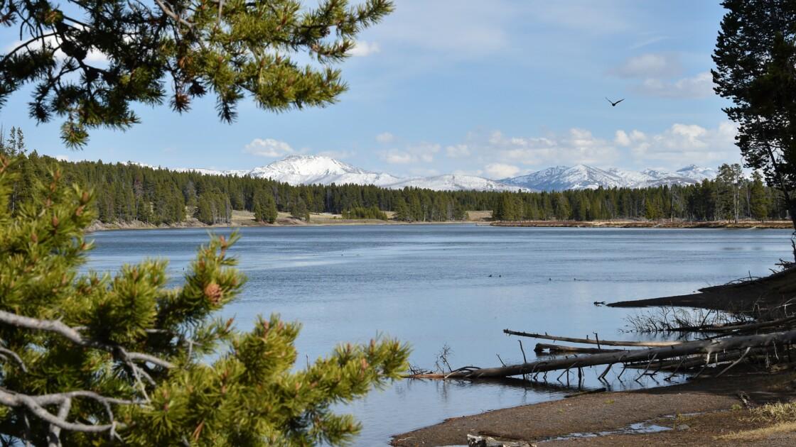 A Yellowstone, la chasse au braconneur d'une emblématique louve blanche