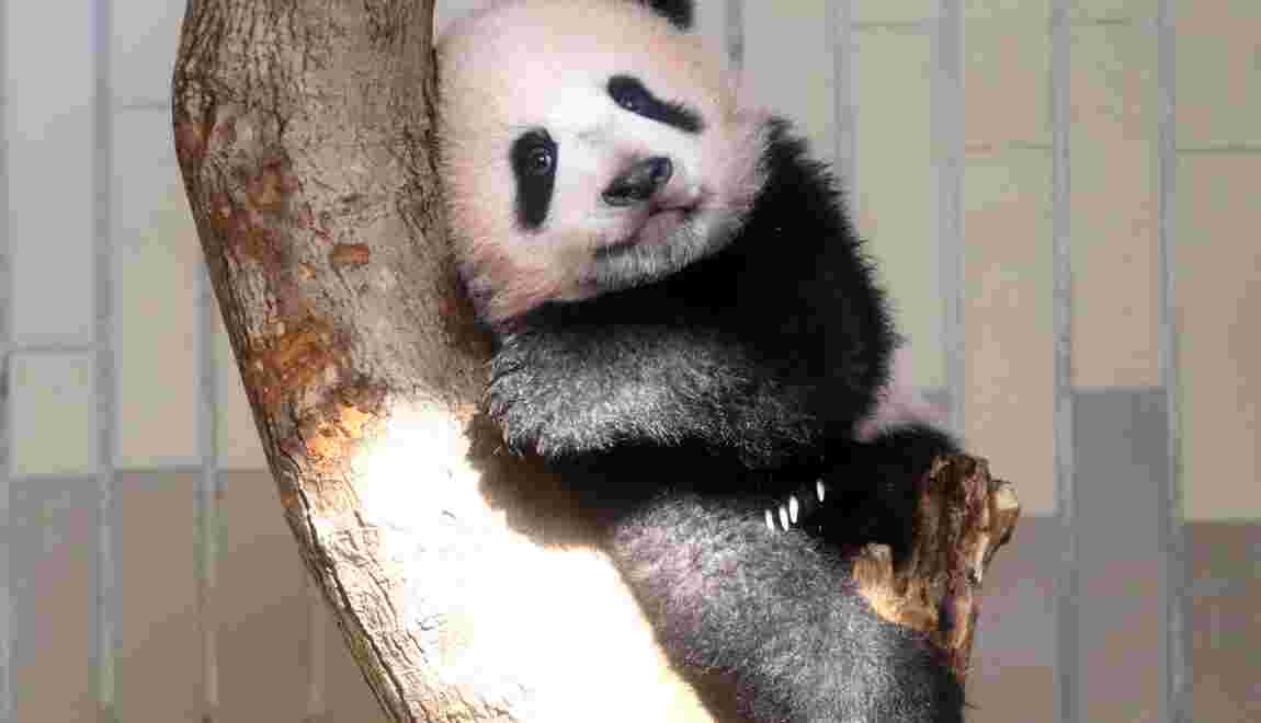 Un bébé panda fait ses débuts médiatiques dans un zoo japonais