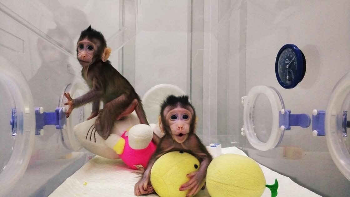 Naissance des premiers primates clonés avec la complexe technique de Dolly