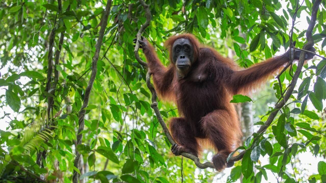Australie : l'adieu de l'orang-outan le plus vieux du monde