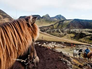 En Islande, chacun cherche son mouton