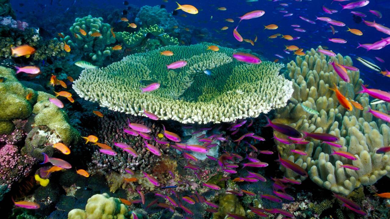 Le doux crépitement des coraux aux îles Fidji