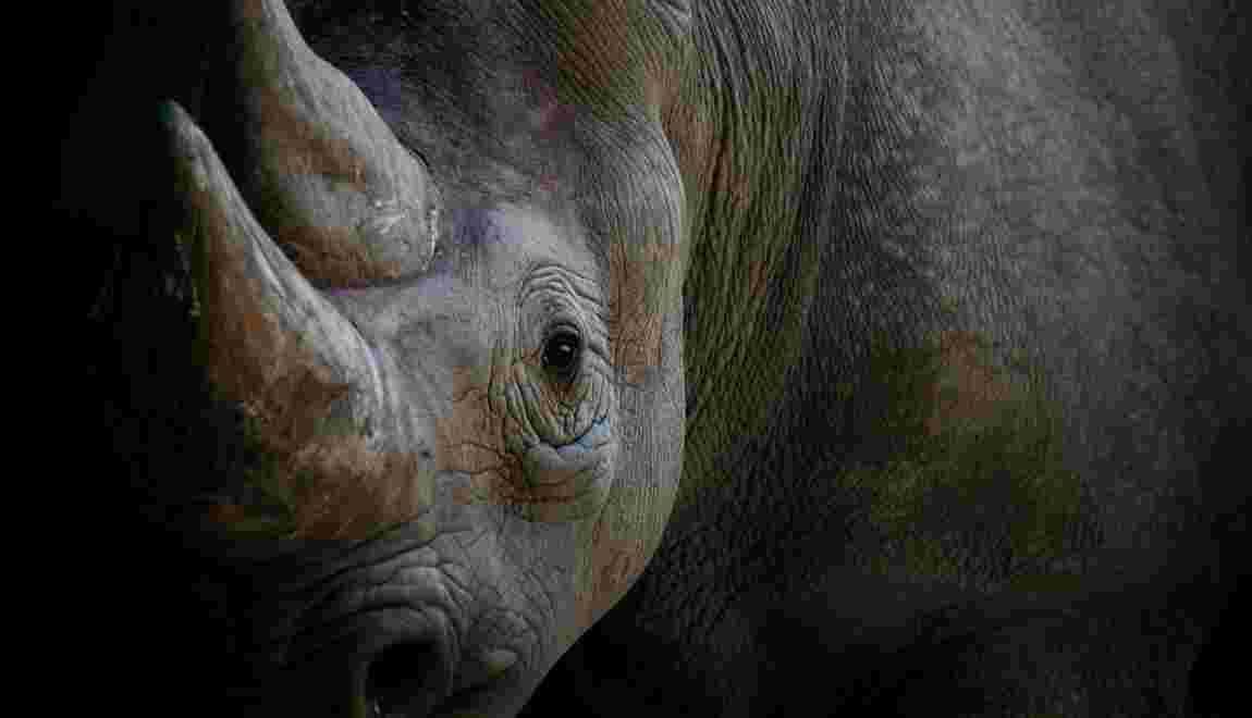 Le Rhino Coin, de la monnaie virtuelle pour sauver les rhinocéros