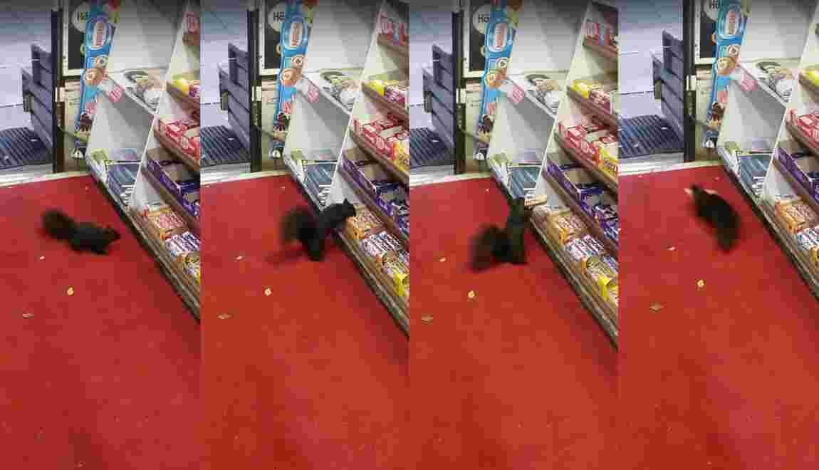 VIDÉO - Des écureuils cambrioleurs dévalisent une épicerie à Toronto