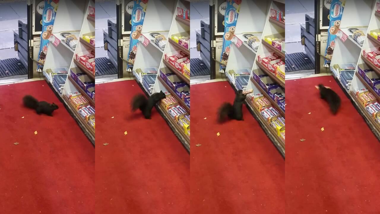 Des écureuils cambrioleurs dévalisent une épicerie à Toronto