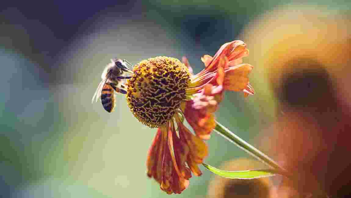 Des graines distribuées gratuitement pour donner des fleurs aux abeilles