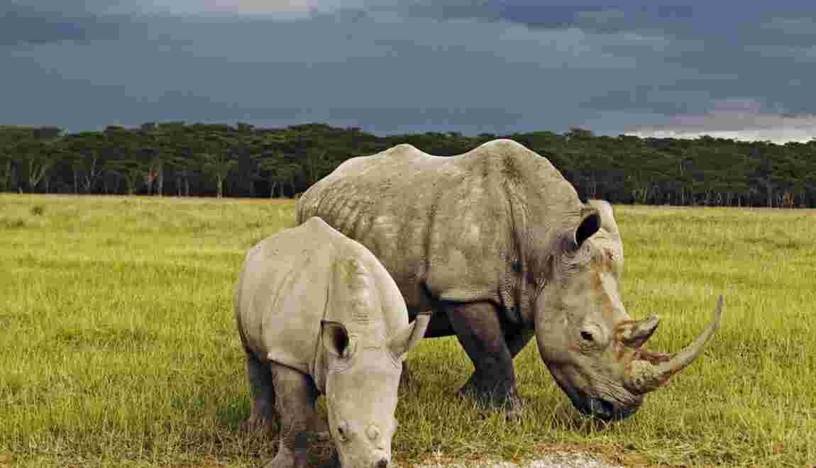 Comment protéger les éléphants et les rhinocéros du braconnage