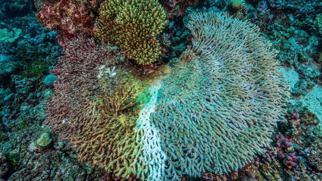 Le blanchissement des coraux en trois questions