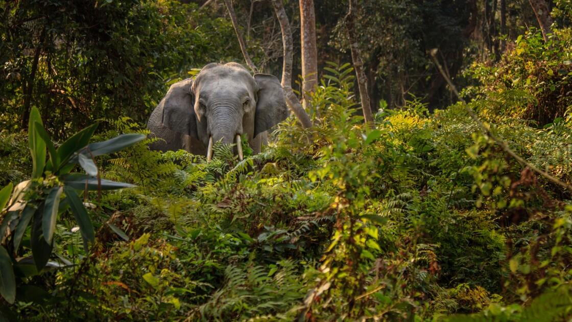 Pour aider les éléphants, l'idée étonnante d'un sanctuaire indien