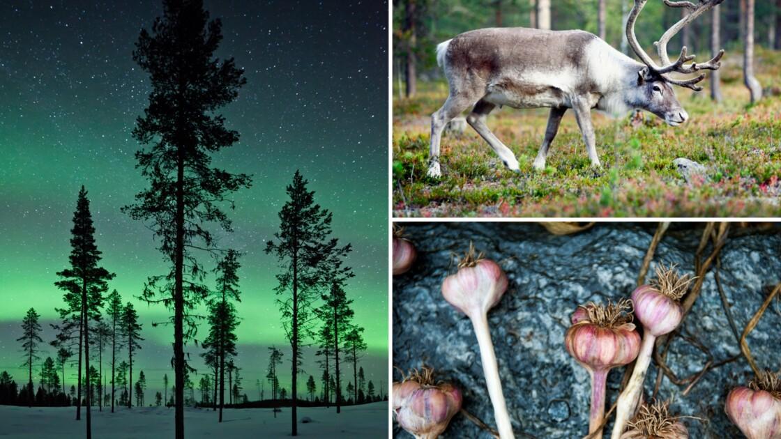 En Laponie, la gastronomie saame inspire les chefs scandinaves