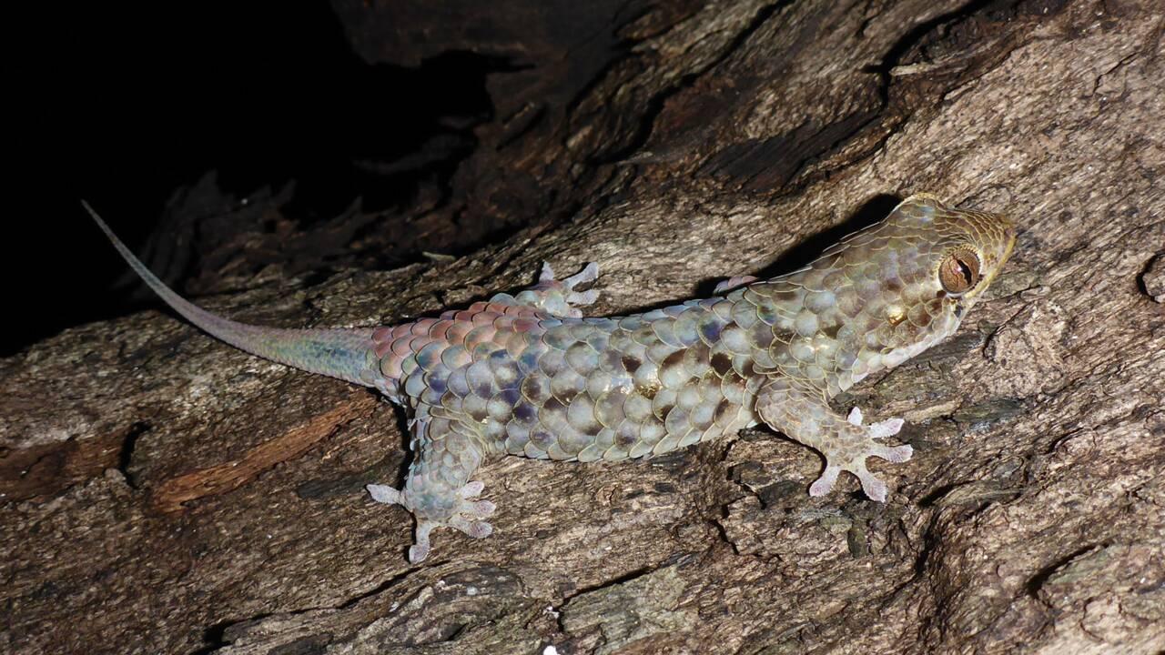 Ce gecko a un drôle de super-pouvoir pour échapper à ses prédateurs