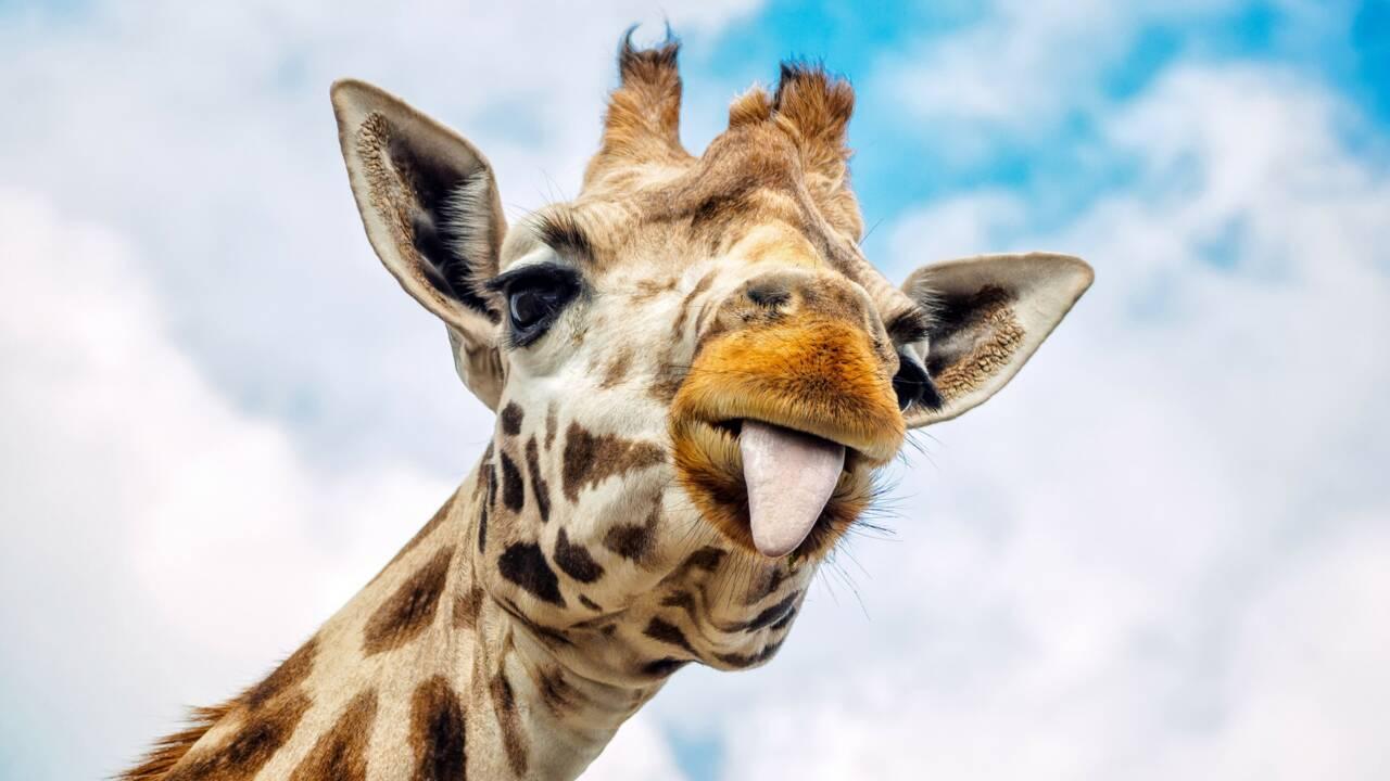 Cinq choses que vous ne saviez pas sur la girafe