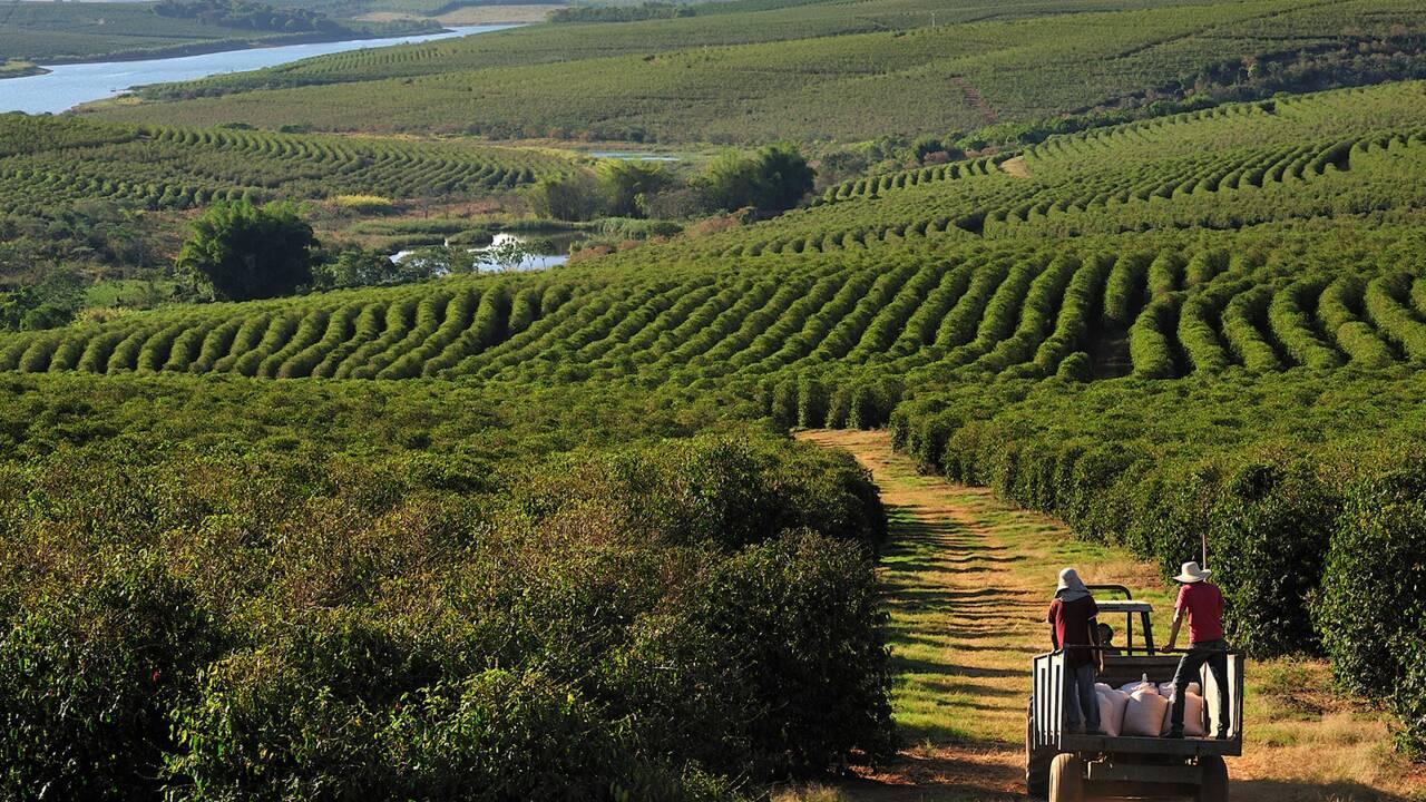 Aux sources de l'arabica, entre Honduras et Brésil