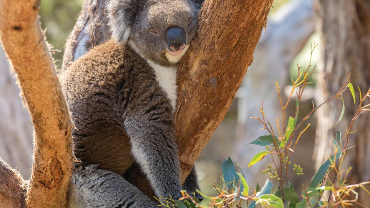 Le koala bientôt sauvé grâce à son ADN ?