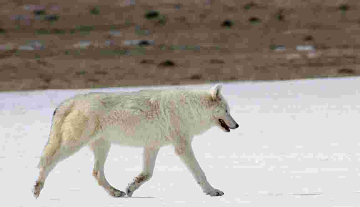 """""""Wanted"""" : le braconneur qui a causé la mort de cette louve blanche à Yellowstone"""