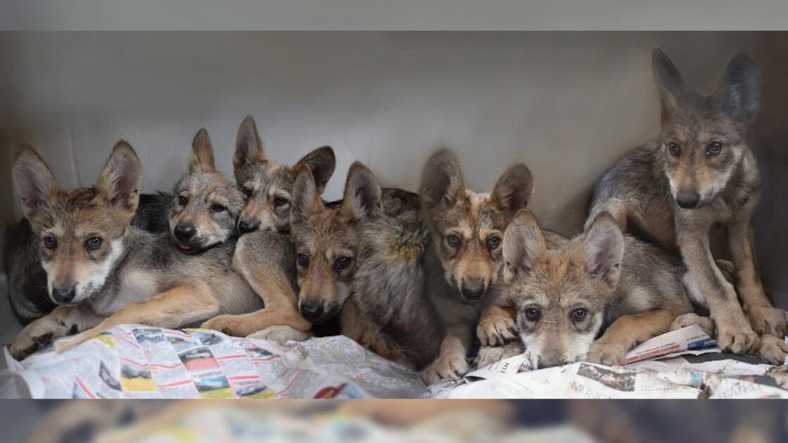 Naissance de louveteaux au Mexique : un espoir pour une espèce rare