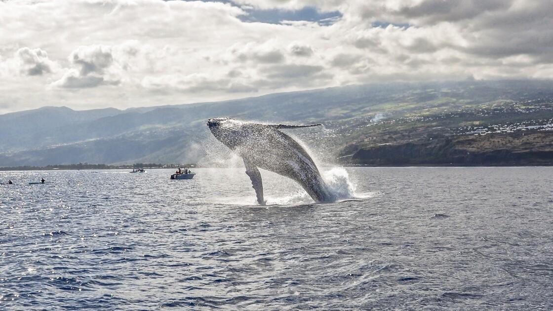 Mystérieuses baleines à bosse