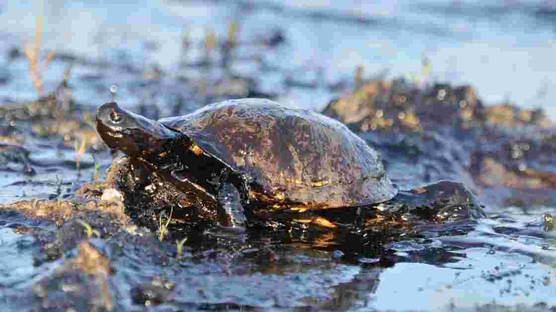 Les marées noires engluent les écosystèmes maritimes