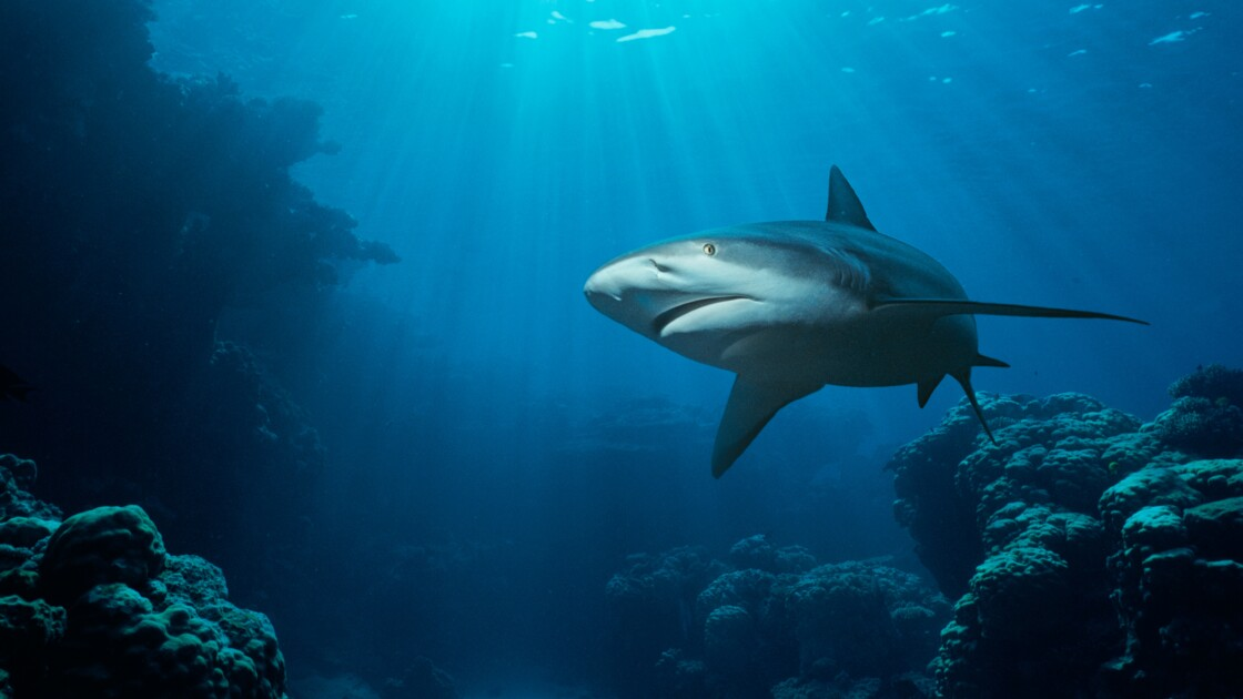 Assiste-t-on réellement à une augmentation des attaques de requins ?