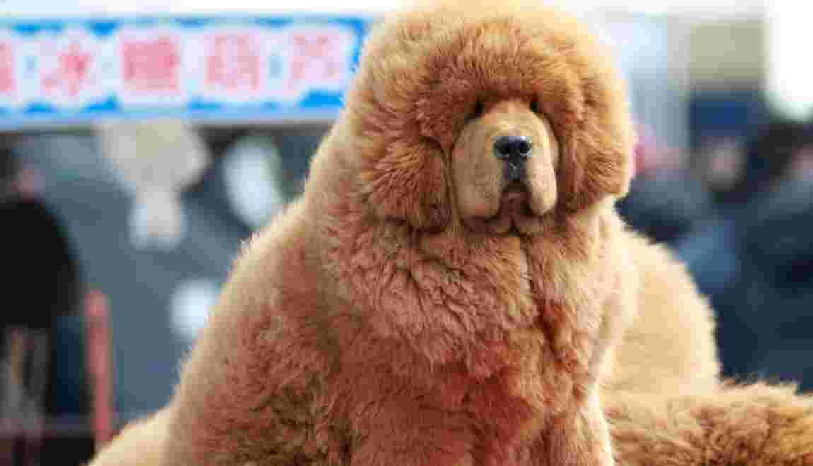 Grandeur et décadence du dogue du Tibet