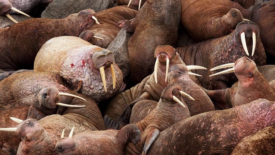 Détroit de Béring : quand les morses débarquent en Sibérie