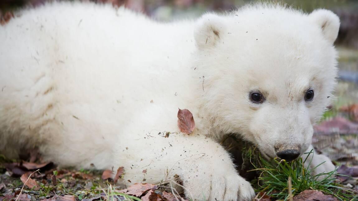 Nanuq de Mulhouse, petite ourse polaire et déjà ambassadrice