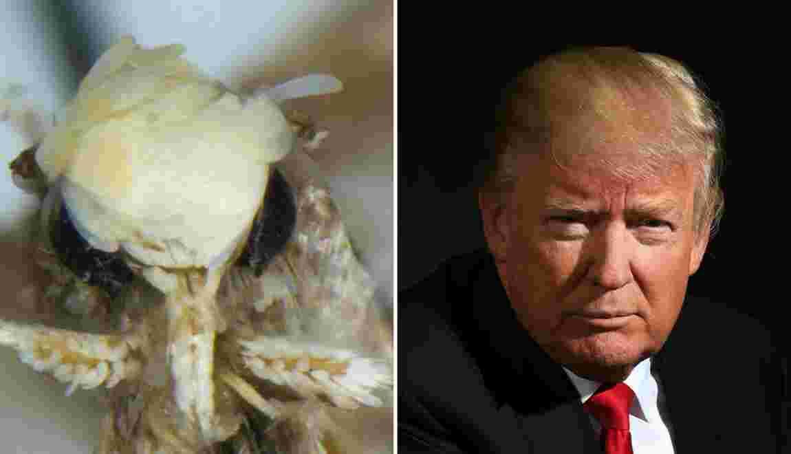 Neopalpa donaldtrumpi : la mite nommée en référence à Donald Trump