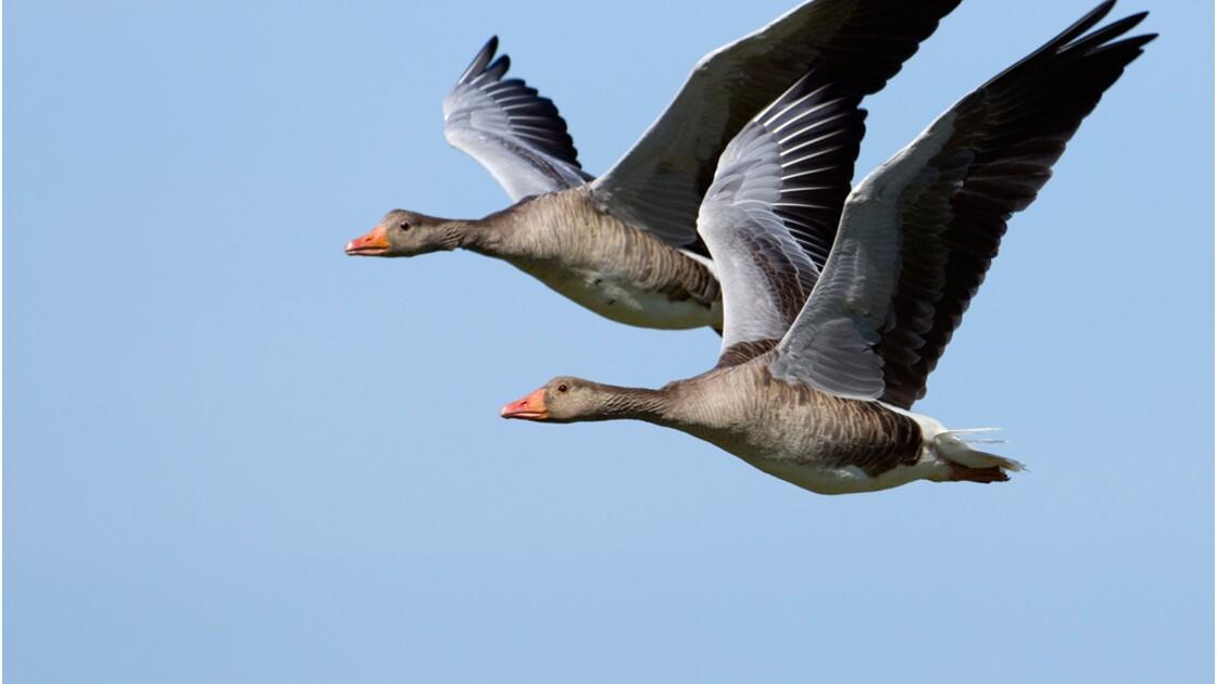 Oiseaux migrateurs : testez vos connaissances