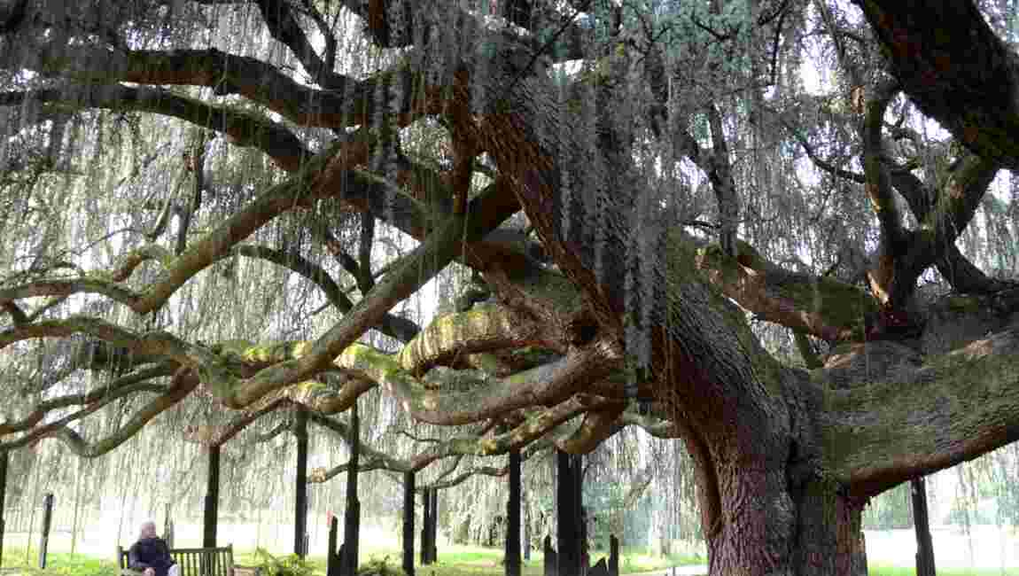 Ces arbres remarquables qui peuplent nos contrées