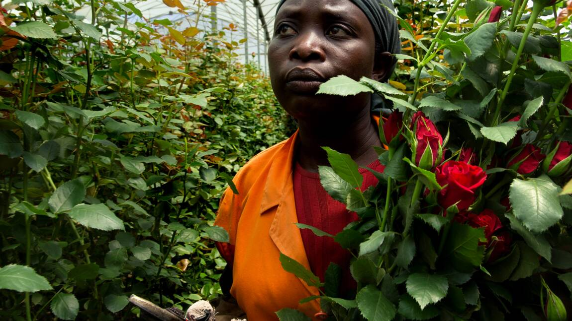 PHOTOS - Kenya : l'empire de la rose