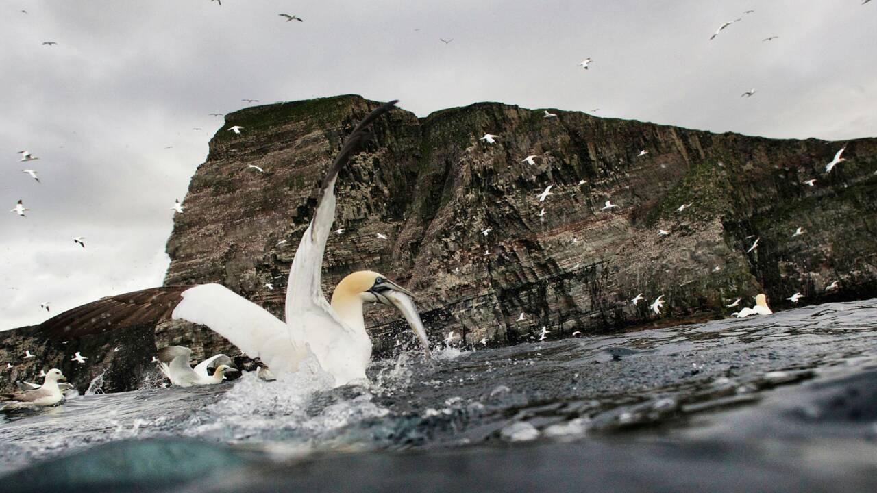 PHOTOS Ecosse - Shetland, le sanctuaire des oiseaux marins