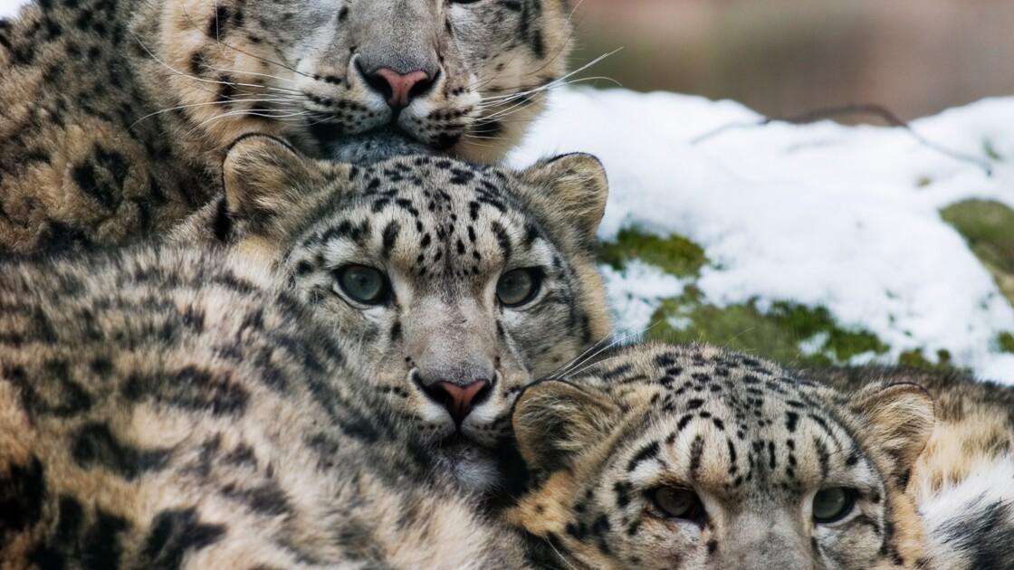 QUIZ - Testez vos connaissances sur le léopard des neiges