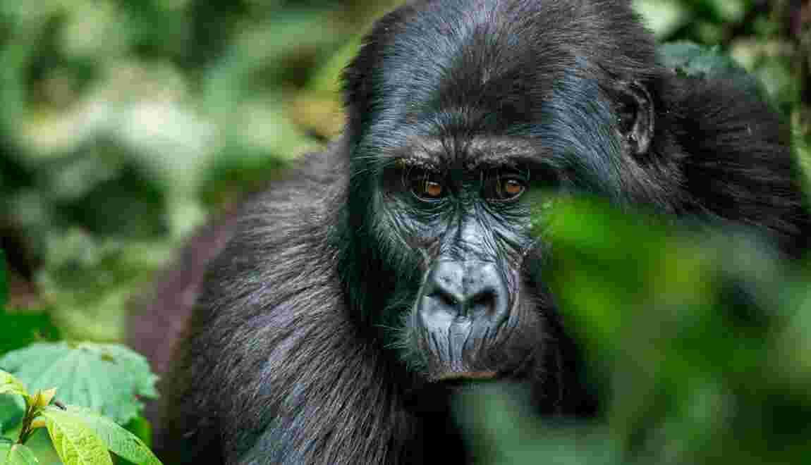 Ouganda : vivre un face-à-face avec les grands singes