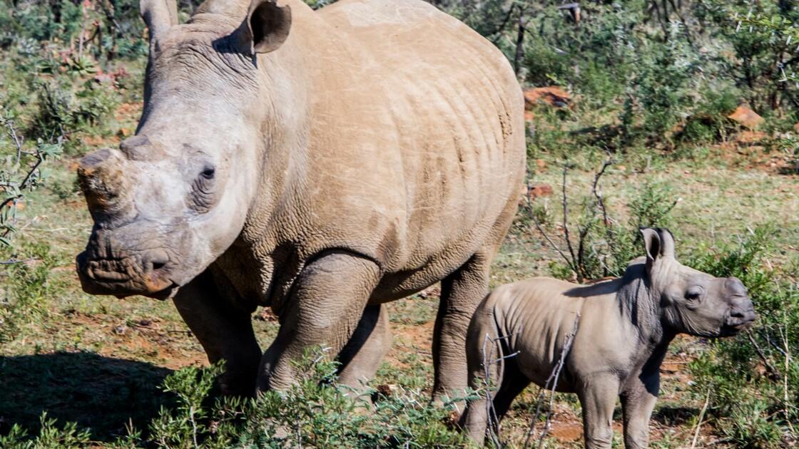 Rhinocéros : les fermes de la discorde