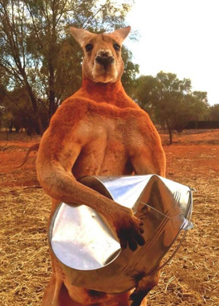Roger, le kangourou culturiste
