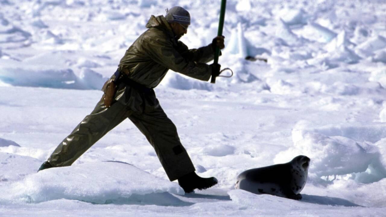 Un embargo européen pour dénoncer la chasse aux phoques ?