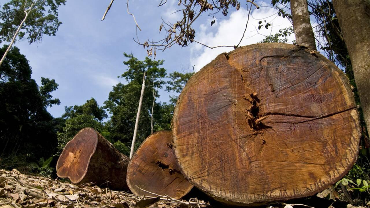 Lutte contre le bois illégal : la France tergiverse