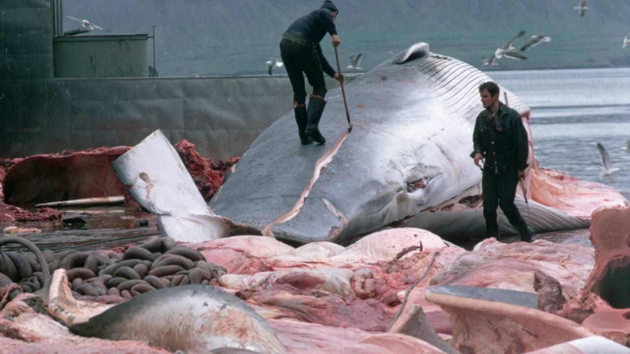 Chasse à la baleine : l'Australie défie le Japon