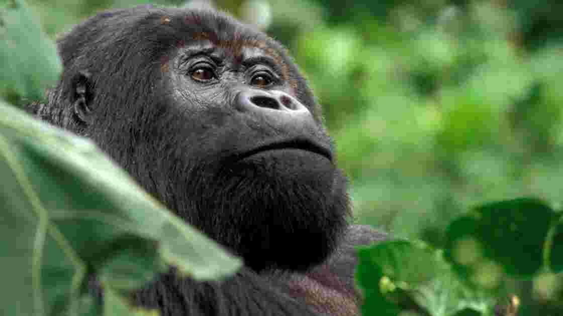2009, L'Année du gorille