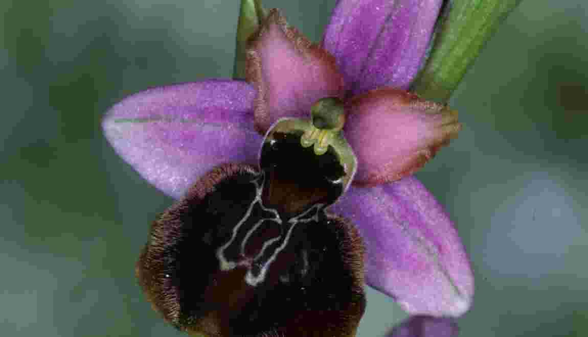 Orchidées sauvages : une espèce sur six menacée en France