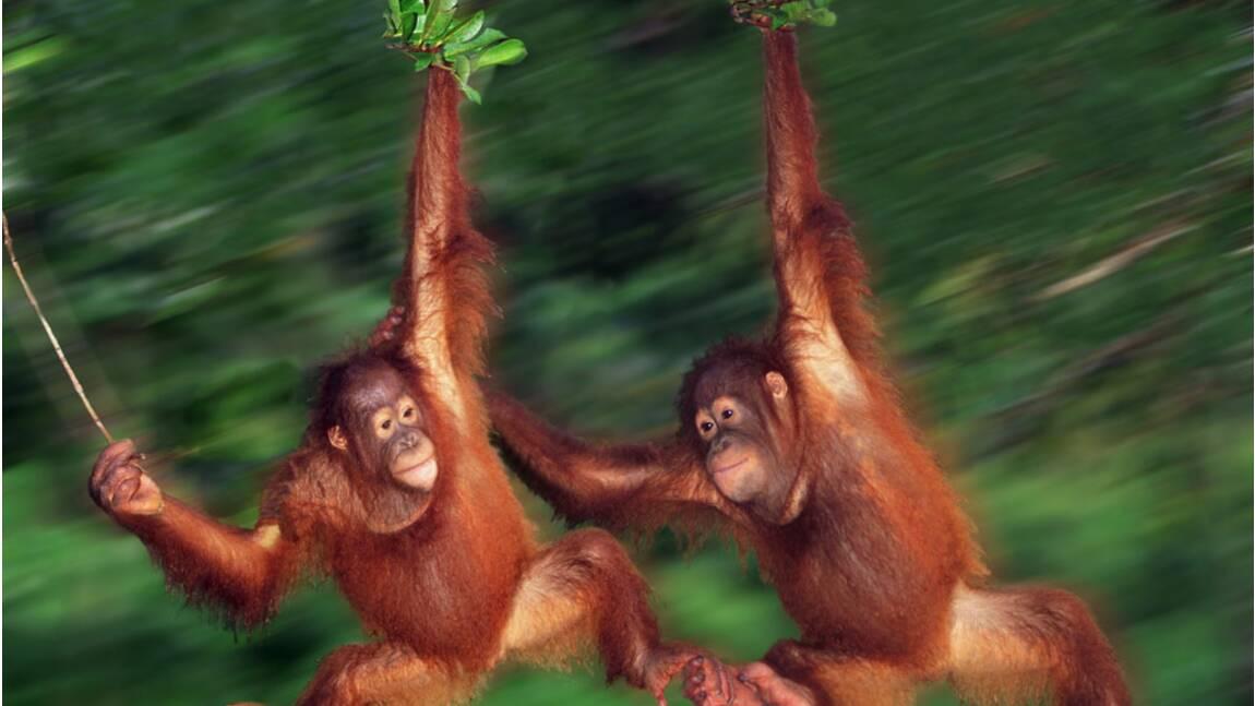 Indonésie : un espoir pour la survie des orangs-outans