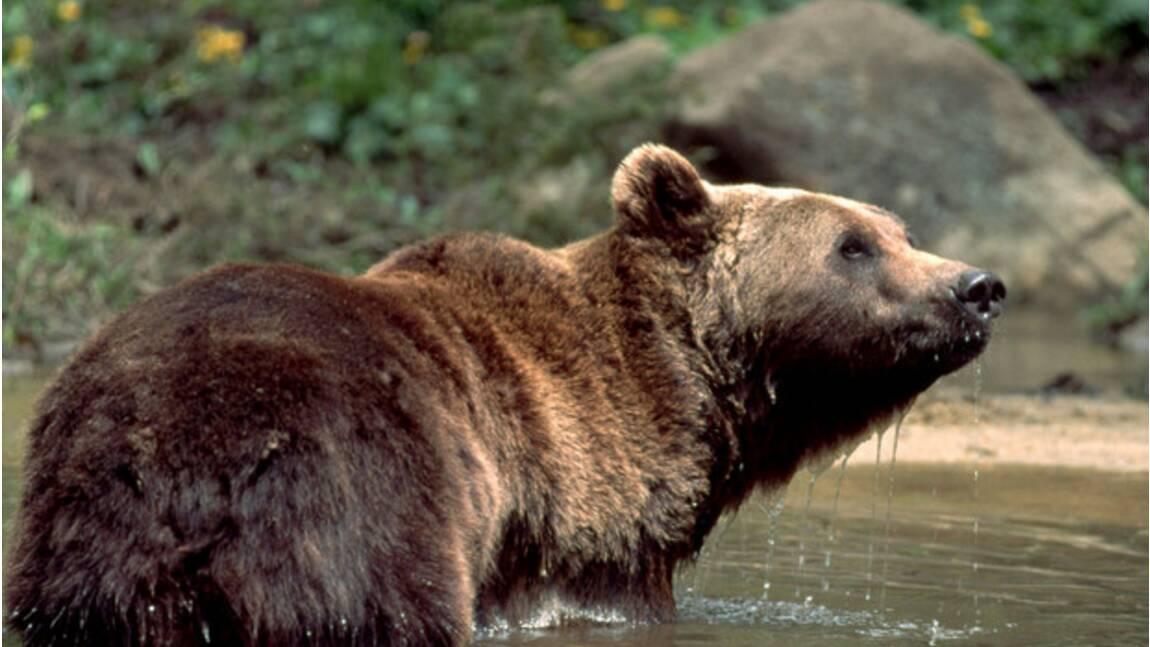 Ours des Pyrénées : le gouvernement promet de nouvelles réintroductions