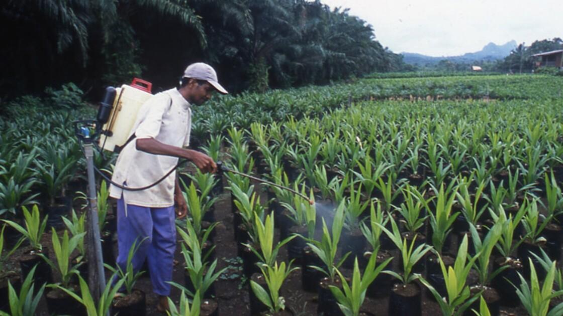 Malaisie : enquête sur l'huile de palme