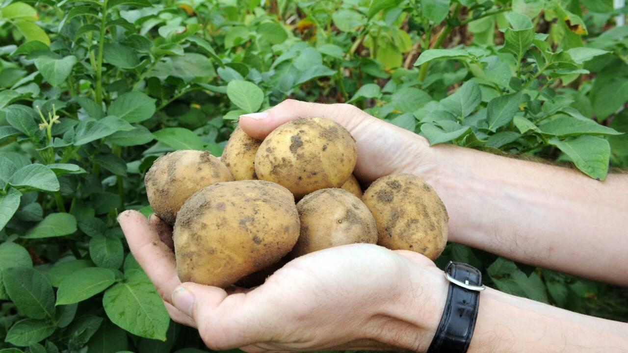 Amflora : premier OGM autorisé en Europe depuis 12 ans