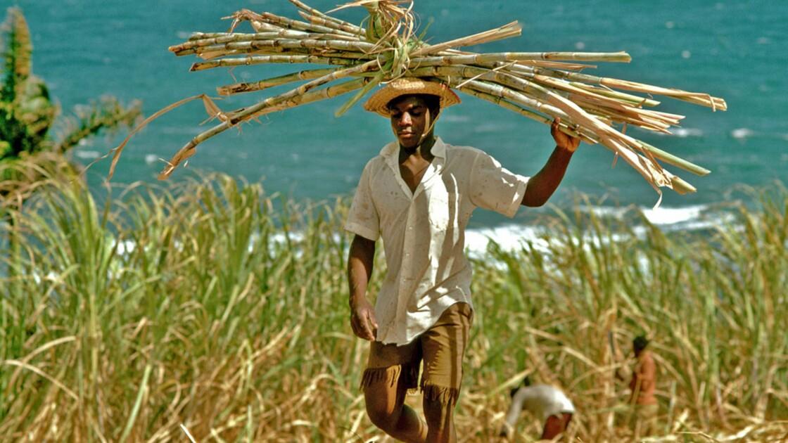 Guadeloupe : la canne à sucre, une richesse en péril