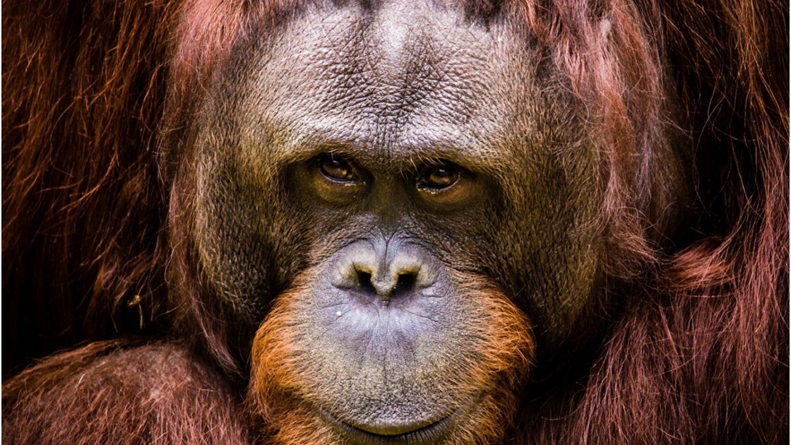 "Un orang-outan reconnu comme ""personne non humaine"""