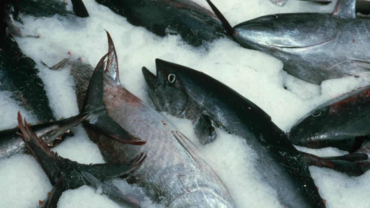 Protection du thon rouge : la France ne tient pas ses promesses