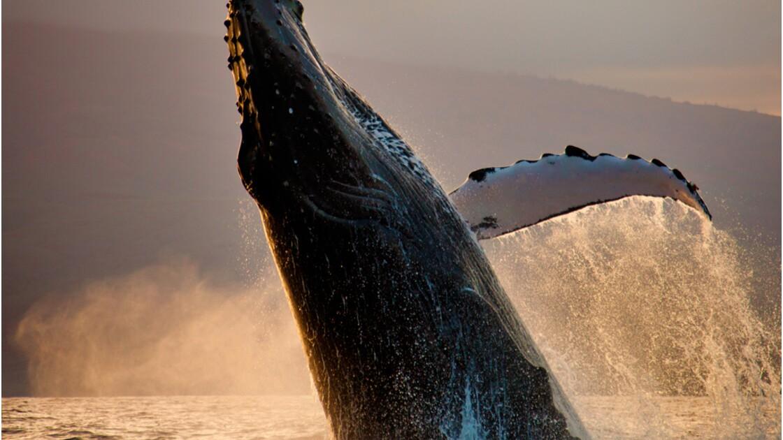 Chasse à la baleine : état des lieux